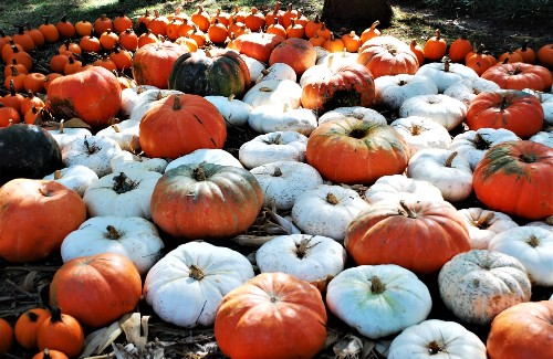 large amount of white and orange pumpkins on ground