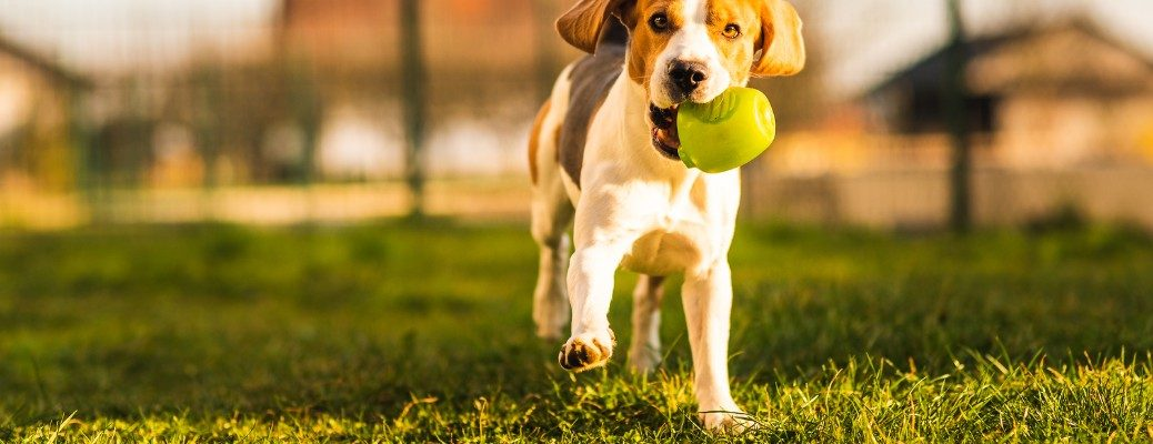 Beagle playing fetch in public park
