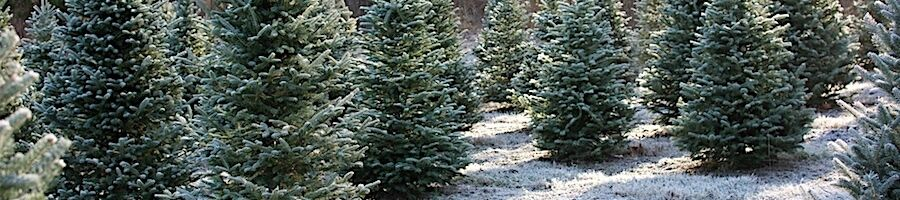 Finding Christmas Trees near Santa Ana CA