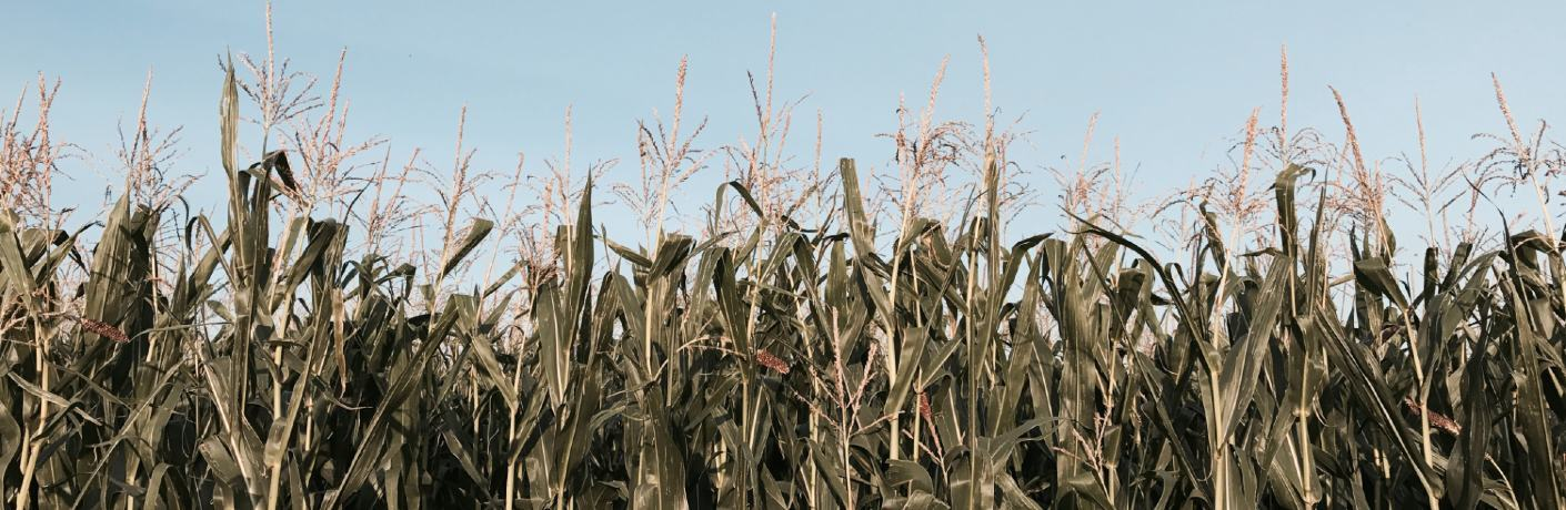A field of corn plants against a blue sky.