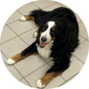 Bernese Mountain Dog lying on a tile floor