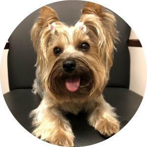 Yorkshire Terrier sitting in a chair