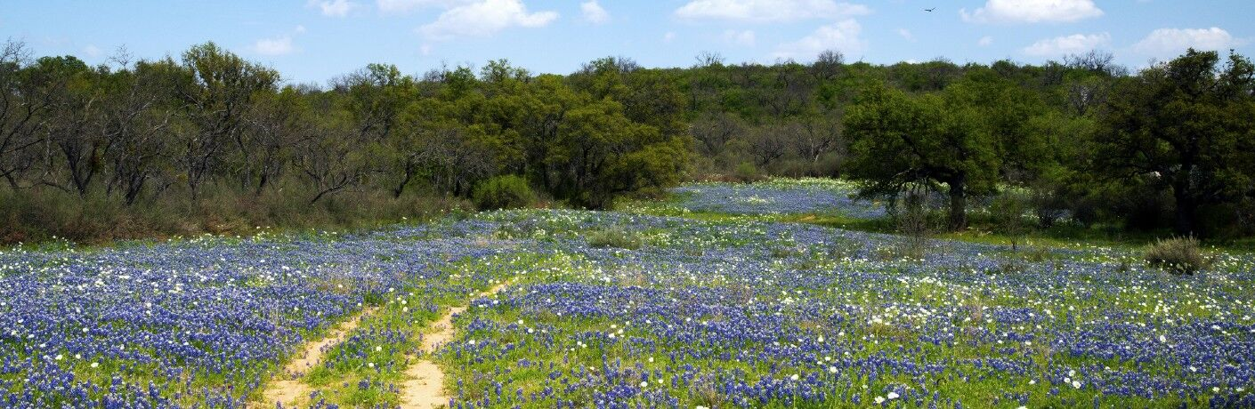 Bluebonnet flowers in a grassy area with a trail